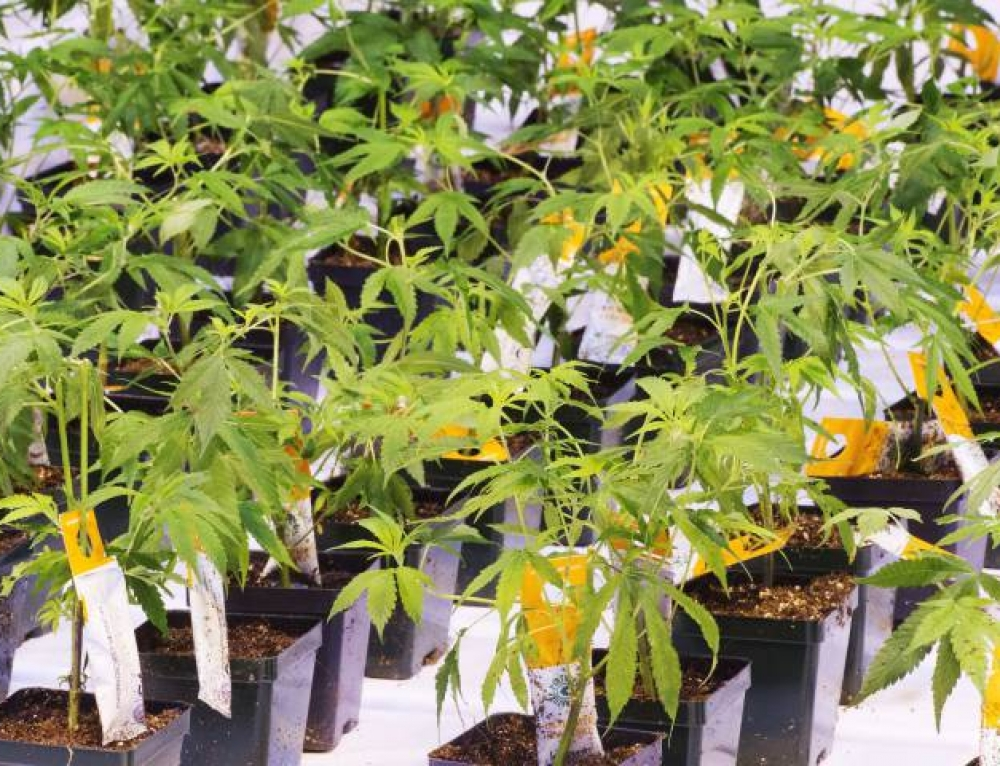 Aurora Cannabis signs joint venture deal with European greenhouse vegetable company