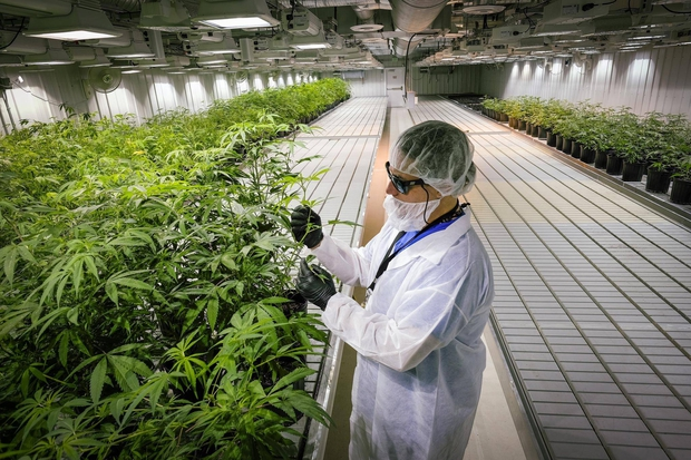 Aurora Cannabis to buy greenhouse design firm Larssen