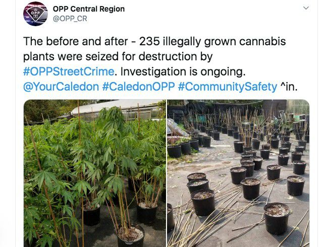 An attempt to conceal a forest of pot plants near a greenhouse went bust when the Ontario police came knocking