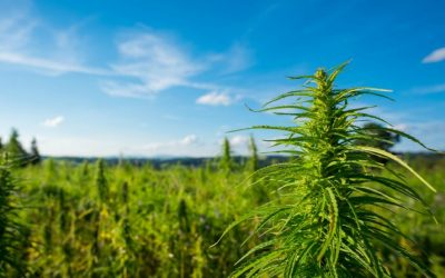Arizona hemp crops have too much THC