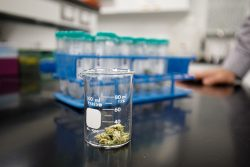 Langara College receives $3.3M grant for cannabis research