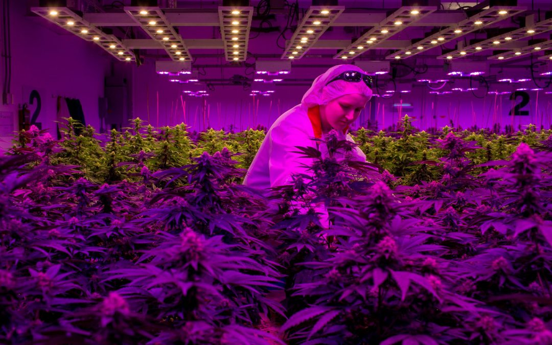 'Temporarily' laid off from the cannabis industry? Here's what you need to know