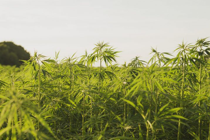 You can still get busted in the U.S. for smoking hemp